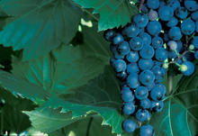 large cluster of dark, purple-blue grapes on the vine