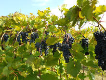 a row of dark purple grapes on green leafy vines in a vineyard ready for harvesting
