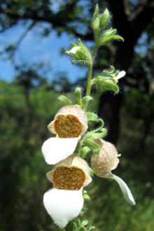 three white and yellow Grecian foxglove flower blossoms