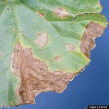 Leaf with brown spots and discoloring from gummy stem blight