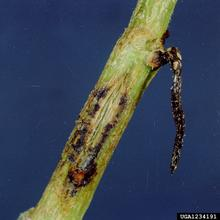 Stem with brown and black discoloring from gummy stem blight