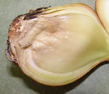 Rotten, mushy inside of an onion cut in half