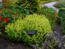 A grouping of herb plants in a garden including nasturtium with red flowers, bright green basil, spiky dark green rosemary, and purple and green leafed sage.