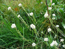 Tall grass-like structures with a cluster of white flowers at the tip