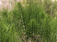 A group of plants that look like miniature evergreen trees with needles
