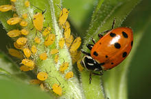 lady beetle crawling and feeding on flower