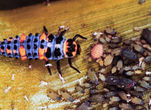 purple insect with orange and black spots crawling toward a large group of aphids
