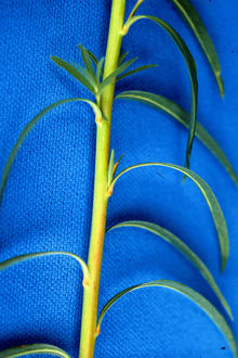 Leafy spurge stem and leaves on blue background