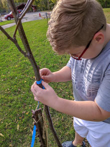 A boy measures the diameter of a young locust tree.