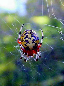 A bright orange marbled orb weaver spider