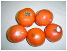Mold on tomatoes.