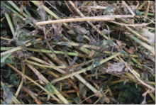 close-up of hay with mold on it.