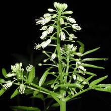 narrowleaf bittercress plant with white flowers on black background