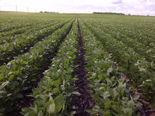 rows of green soybean plants in a field.