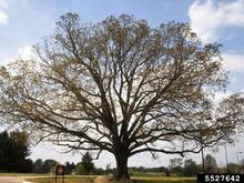 A white oak tree