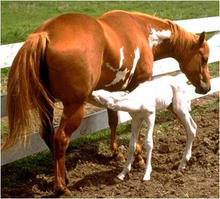 Foal with OLWS genetic mutation nursing. Foal is all white with blue eyes.