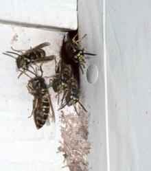 Wasps going into a hole in house