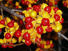 Close up of red Oriental bittersweet berries with bright yellow leaves.