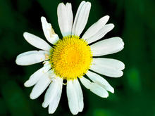 single white oxeye daisy with a yellow middle