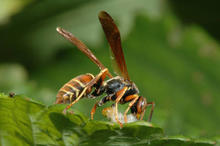 Paper wasp eating caterpillar