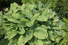 Bright green hosta plant with numerous holes in the leaves.
