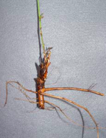alfalfa root with severed tap root.