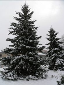 Two large dark evergreens on a snowy slope with a building in the background.