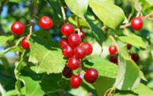 pincherry fruits