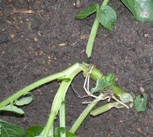 Beans stems infected by cutworm