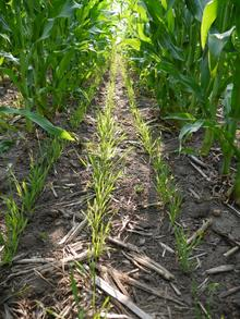 rows of young rye plants growing in tall corn rows