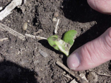 Scarring on cotyledons