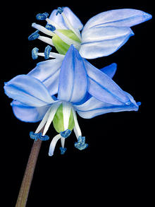 close up of 2 blue, white and green Siberian squill flowers on black background