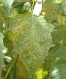 Leaf with bumps and yellowish discoloration