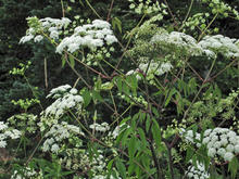 Several green plants with clusters of white flowers
