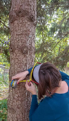 A woman measures the diameter of a spruce tree.