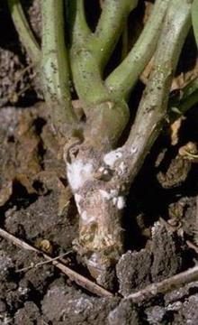 White mold on stem of bean plant
