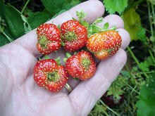 A handful of ripe strawberries with puckering at the tips of the berries.