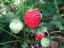 Ripe and unripe strawberries on a plant low to the ground.
