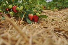 strawberries with straw mulch surrounding plants