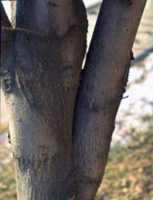 closeup of lower tree trunk with two main branches
