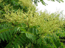 small, light yellow and green tree-of-heaven flowers