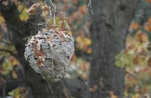 Yellow jacket nest in tree