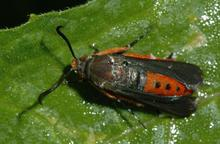 Squash vine borer bug on squash leaf