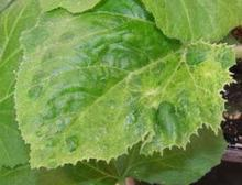 Leaves with curled edges, bumps and mottled color
