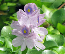 two purple and yellow water hyacinth flowers blooming