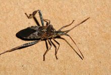 A black-brown insect with long, black legs and brown antennae
