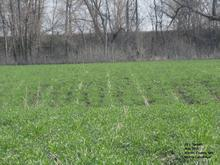 field of ankle high cereal rye, dormant trees in background