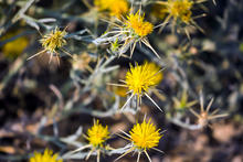 close up of many yellow starthistle flowers