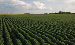 Field of soybeans.
