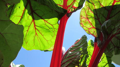Chard plant from underneath